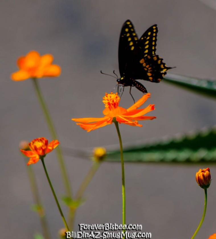 Butterfly-6