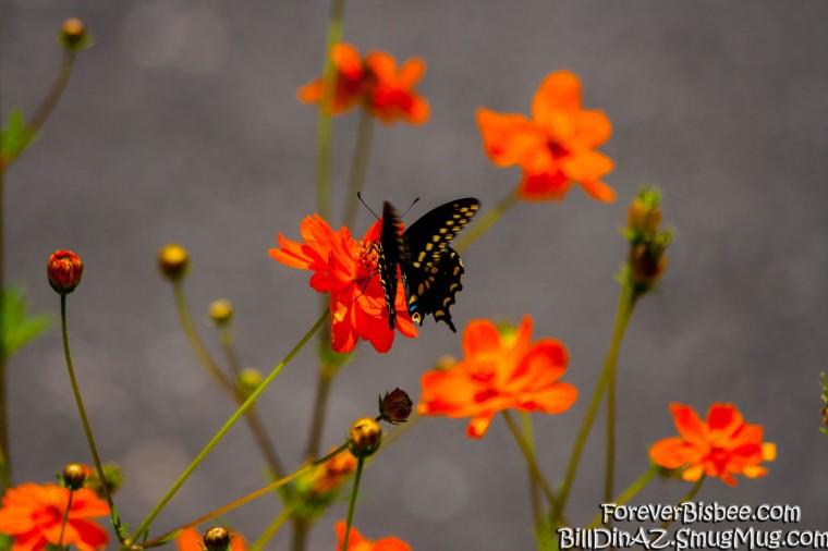 Butterfly-9